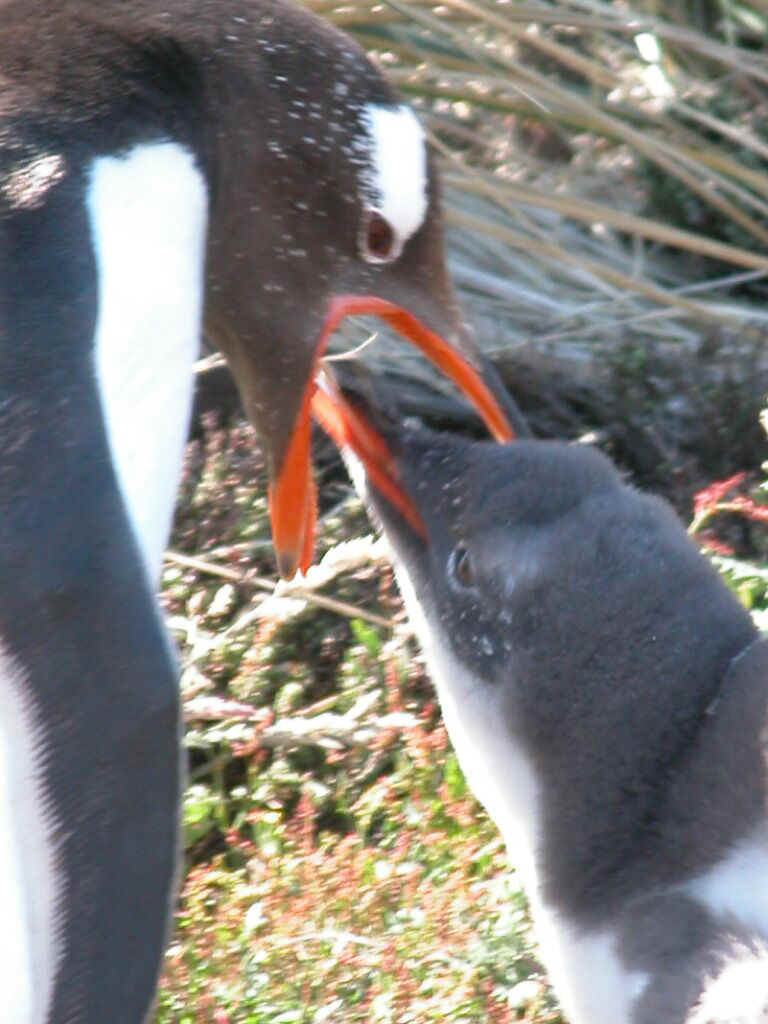 Carcass - gentoo and chick feeding 0889.jpg (130149 bytes)