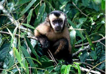 PER_Cock_of_the_Rock_lodge_monkey.jpg (17618 bytes)